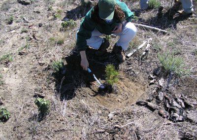 Plantación de un pino